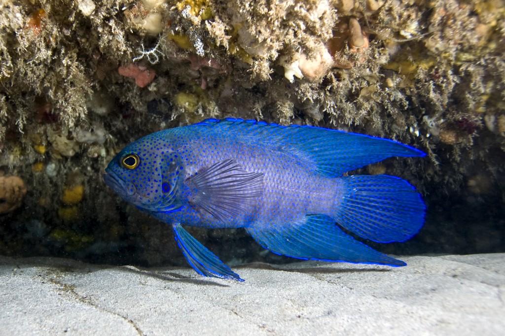 Devil fish 3